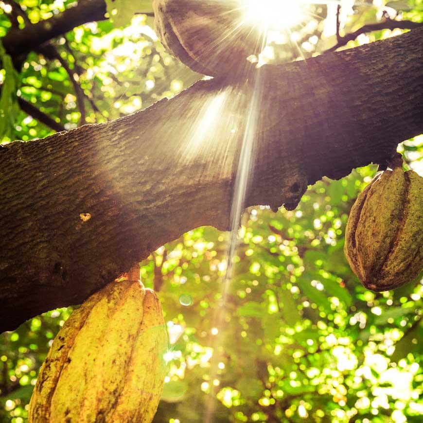 De la cabosse à la fève de cacao